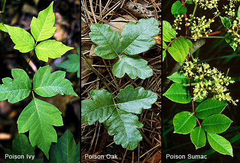 Attacking Poison Ivy