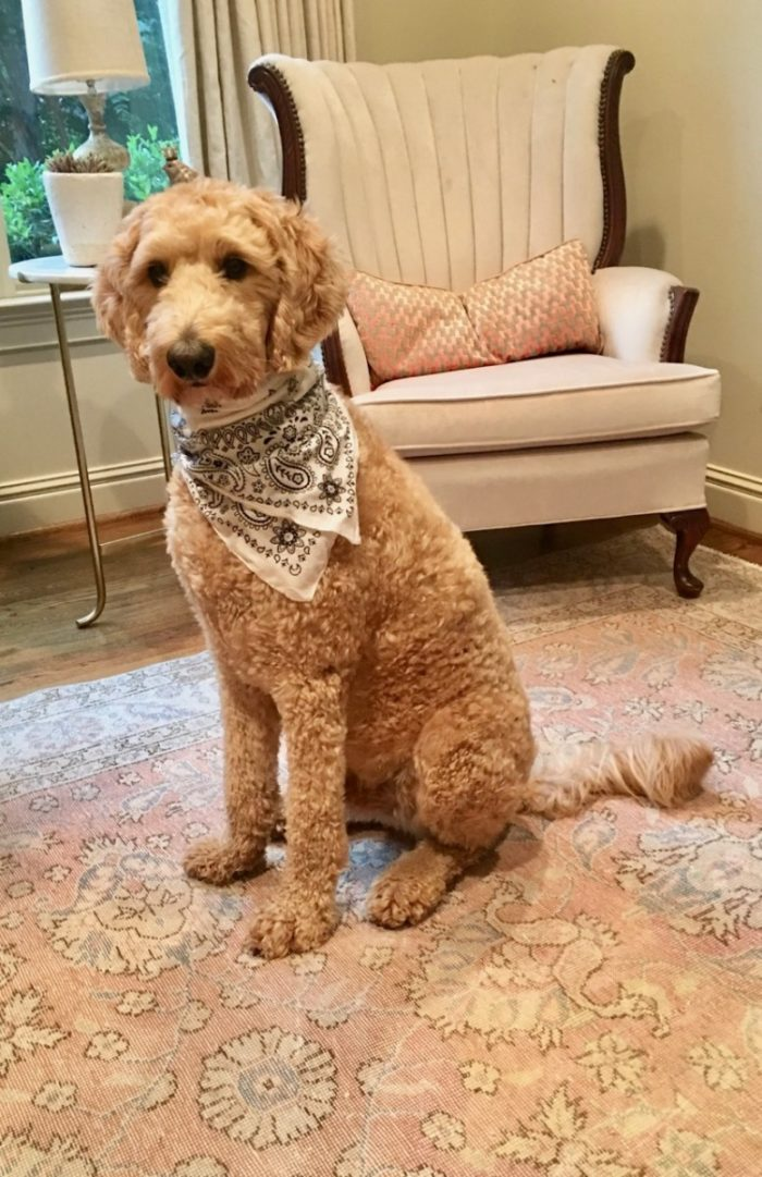 Removing Dog Vomit from Rugs (and Why Rawhide Bones are Risky)
