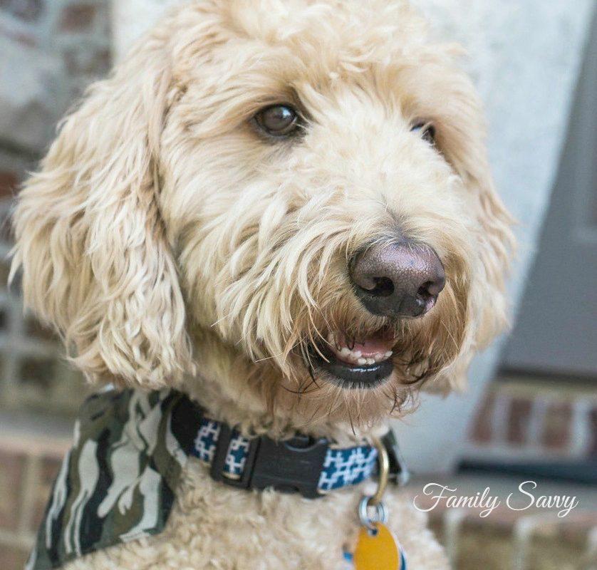 DIY Dog Collar Odor Remover and Freshener Recipe